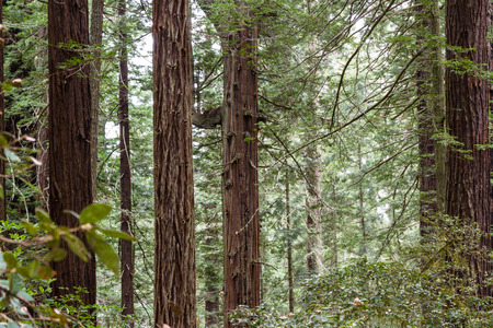 distinctive: close up of a towering redwood tree in the forest with its distinctive bark and a wide base Stock Photo