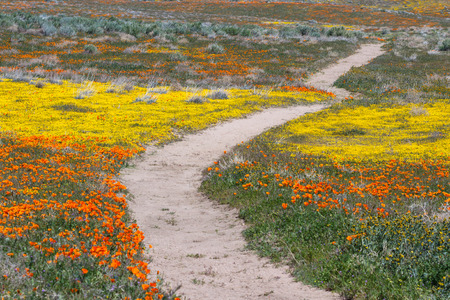 California wild orange poppy on the ground stock photo picture and early spring flowers blooming along the walking trail of the antelope valley poppy preserve in california mightylinksfo