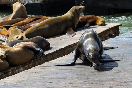 sun bathing: Group of California Sea Lions sun bathing on the floating docks in San Francisco Stock Photo