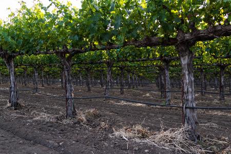 napa valley: rows of grape vines early springtime in Napa Valley, California
