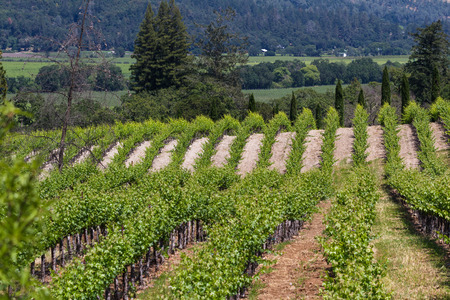 napa valley: manicured landscape in springtime with rows of grape vines in  Napa Valley California