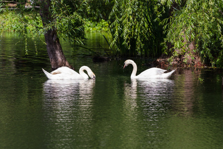 back yard pond: beautiful man made pond with two white swans as a center piece