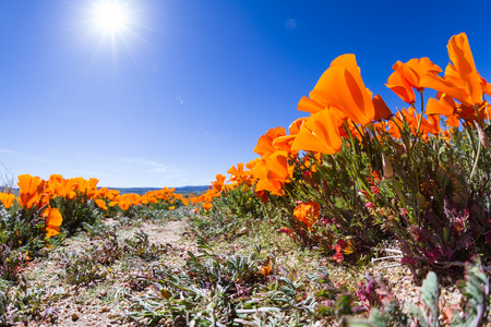 Springtime in California, thousands of flowers blooming on the hills of the Antelope Valley California Poppy Preserve Banco de Imagens