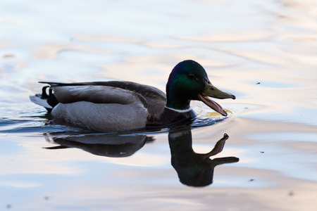 mosquitoes: close up of a mallard duck swimming on a clam lake catching mosquitoes and insects