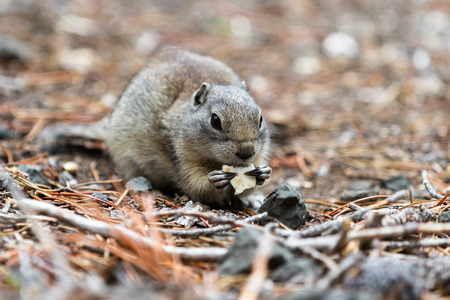 eating area: close up of a ground squirrel eating a cracker in a forest area in Southern Oregon