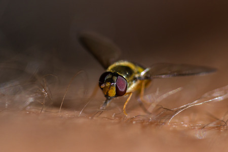 beneficial insect: macro of a hover fly on my leg with my own leg hair to show size