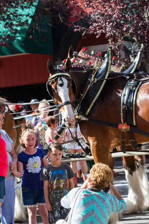 budweiser: Coeur d Alene, Idaho - June 12 : Budweiser Clydesdales parade down Sherman avenue with young fans posing for photographs, June 12 2015 in Coeur d Alene, Idaho Editorial