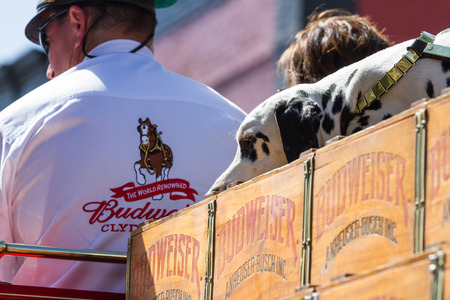 budweiser: Coeur d Alene, Idaho - June 12 : Chip, the 2 year old Budweiser dog touring on top of the carriage, June 12 2015 in Coeur d Alene, Idaho