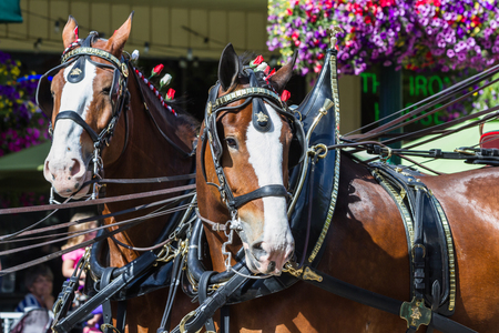 budweiser: Coeur d Alene, Idaho - June 12 : Budweiser Clydesdales parade down Sherman avenue, June 12 2015 in Coeur d Alene, Idaho Editorial