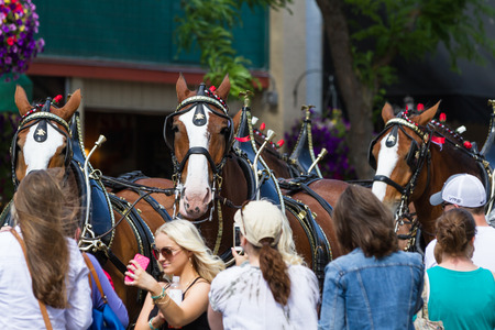 budweiser: Coeur d Alene, Idaho - June 12 : Budweiser Clydesdales parade down Sherman avenue attracting large crowds of people, June 12 2015 in Coeur d Alene, Idaho Editorial