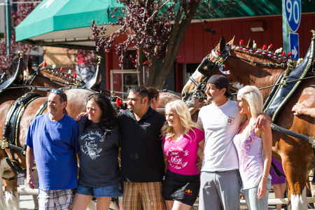 alene: Coeur d Alene, Idaho - June 12 : Budweiser Clydesdales parade down Sherman avenue with fans posing for photographs, June 12 2015 in Coeur d Alene, Idaho Editorial