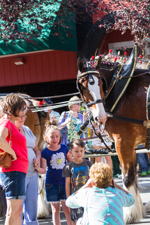 grand child: Coeur d Alene, Idaho - June 12 : Budweiser Clydesdales parade down Sherman avenue with young fans posing for photographs, June 12 2015 in Coeur d Alene, Idaho Editorial