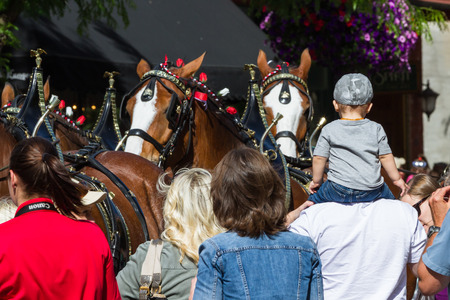 alene: Coeur d Alene, Idaho - June 12 : Budweiser Clydesdales parade down Sherman avenue attracting large crowds of people, June 12 2015 in Coeur d Alene, Idaho Editorial