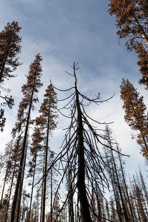 charred: Tall conifer trees charred after the National Creek Complex fired burned this area of Crater Lake National Park