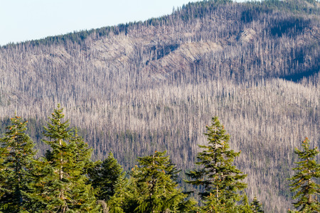 view of an old dead zone in a forest form an old wildfire in the mountains of Southern Oregon