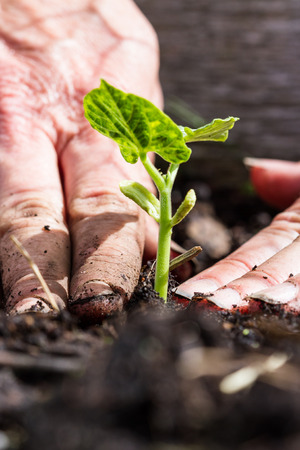 compacting: close up of freshly planted green plant with dirty hands compacting the soil around it Stock Photo