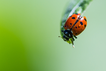 ladybug on leaf: close up of an orange ladybug with water drops on it standing on a green leaf for contrast