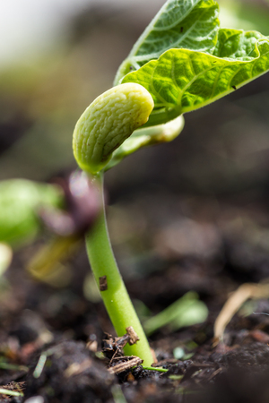 bean plant: close up of a bean plant growing in the spring