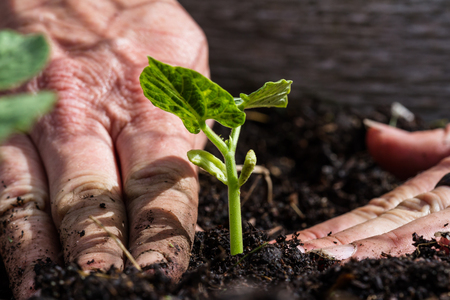close up of freshly planted green plant with dirty hands compacting the soil around it Foto de archivo