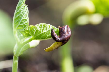 planta de frijol: Primer plano de una planta de frijol en crecimiento en la primavera