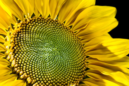 developing: close up of a developing sunflower with an interesting pattern and moisture on the forming seeds
