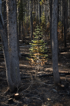survives: Young shasta fir survives the National Creek Complex Fire that burned this large Section Of Crater Lake National Park. photo taken in October 2015
