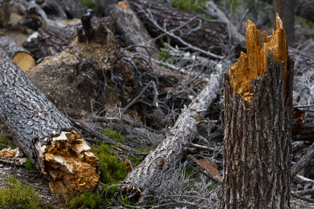 forceful: close up of a broken tree in the forest after a wind storm