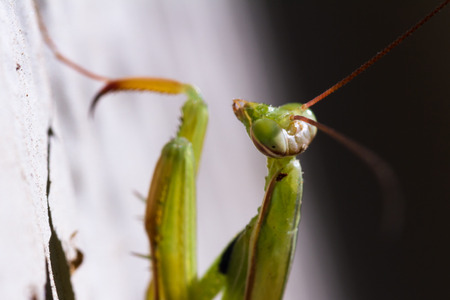 mantodea: closeup of a green praying mantis crawling on the ground Stock Photo