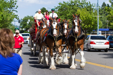 d: Coeur d Alene, Idaho - June 12 : Budweiser Clydesdales parade down Sherman avenue, June 12 2015 in Coeur d Alene, Idaho Editorial