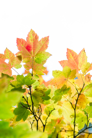 ranging: colorful maple leaves ranging in color from yellow, orange, red, and green shot over a white background