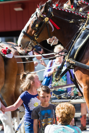 alene: Coeur d Alene, Idaho - June 12 : Budweiser Clydesdales parade down Sherman avenue with young fans posing for photographs, June 12 2015 in Coeur d Alene, Idaho Editorial