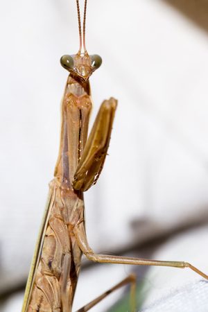 mantodea: close up of a brown praying mantis over a white background