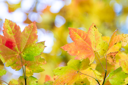 ranging: colorful maple leaves ranging in color from yellow, orange, red, and green in a display of autumn colors