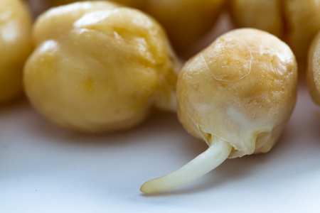 sprouted: close up of an organic raw sprouted chickpea with a small root growing out of it Stock Photo