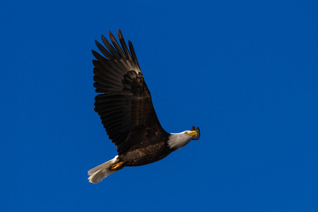 close up of an adult American Bald Eagle flying over a beautiful blue sky Stok Fotoğraf