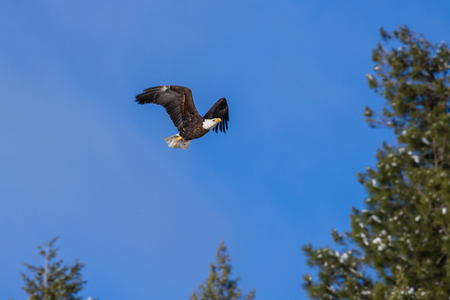 alene: close up of an adult American Bald Eagle flying over a beautiful blue sky Stock Photo