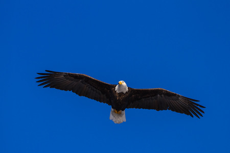 close up of an adult American Bald Eagle flying over a beautiful blue sky Stockfoto