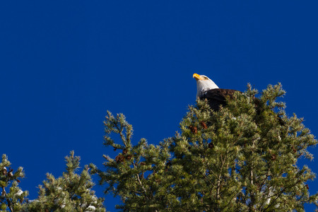 Adult American Bald Eagle perched on a tree with beautiful blue sky in the background