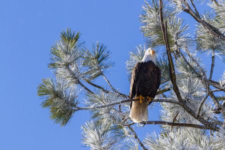 alene: Adult american bald eagle perched on a tree branch, Coeur d Alene, Idaho. 2015