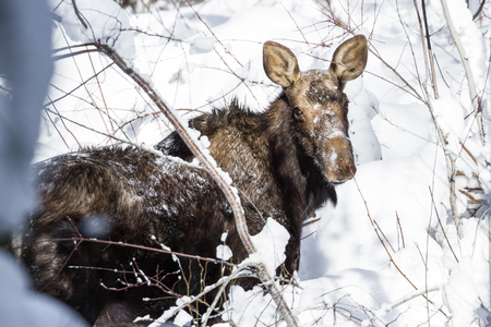 alene: close up of a female moose walking on fresh snow on the side of the road in Northern Idaho