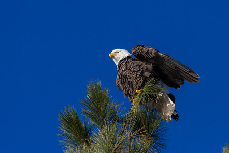 alene: Adult american bald eagle perched on a tree branch, Coeur d Alene, Idaho. 2015