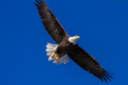 alene: Adult american bald eagle flying over Lake Coeur d Alene, Idaho. 2015