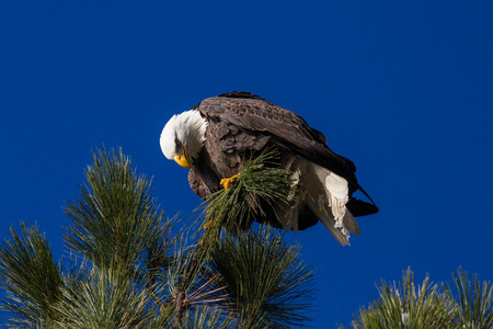 Adult american bald eagle perched on a tree branch, Coeur d Alene, Idaho. 2015