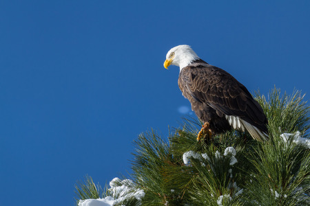 eagle feather: imposing Bald Eagle perched on a tree branch mid winter in Coeur d Alene, Idaho Stock Photo
