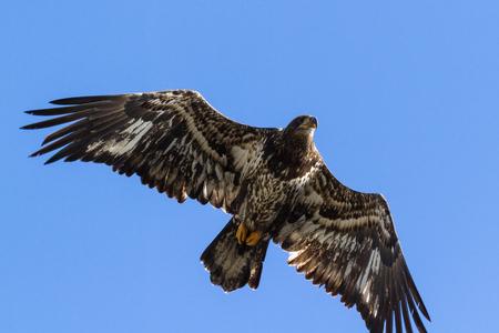 alene: powerful American Bald Eagle flying over lake Coeur d Alene in northern Idaho
