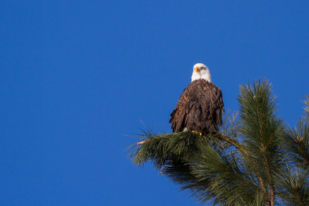 wold: Adult american bald eagle perched on a tree branch, Coeur d Alene, Idaho. 2015