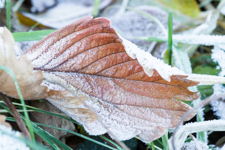 unprotected: macro of a frozen autumn leaf early winter with ice adding to the natural pattern of the leaf