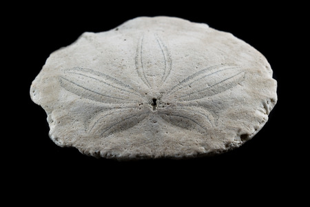sand dollar: old sand dollar or starfish close up with interesting texture and pattern