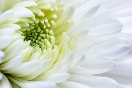 better days: close up of a beautiful white Chrysanthemum with delicate soft petals and a yellow center Stock Photo