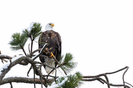 alene: imposing Bald Eagle perched on a tree branch mid winter in Coeur d Alene, Idaho Stock Photo